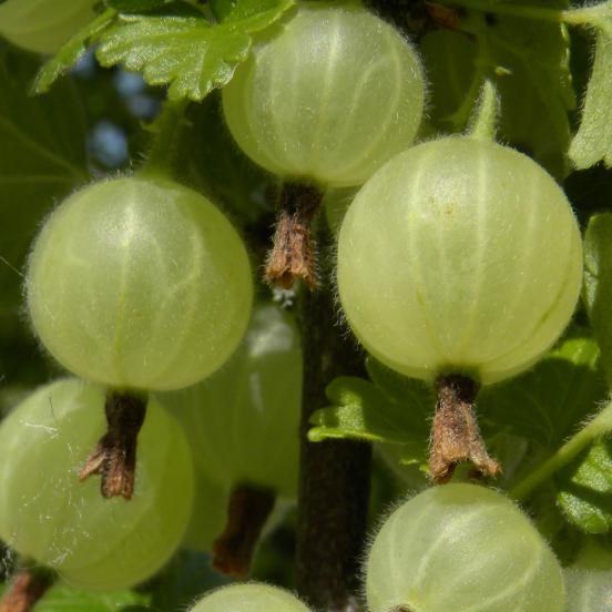 Groseillier à maquereaux uva-crispa Blanc