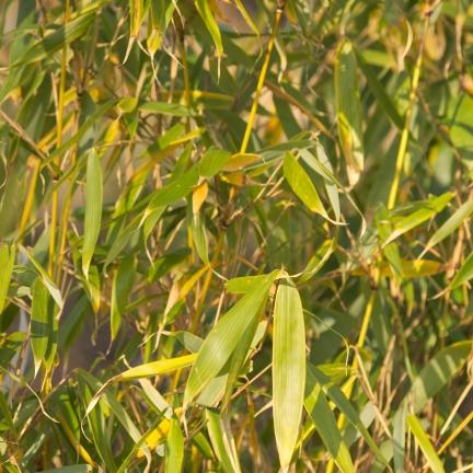 Bambou bicolor aureosulcata Spectabilis