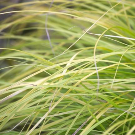 Laîche d'Oshima oshimensis Everillo®