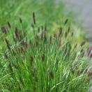 Herbe aux écouvillons alopecuroides Moudry