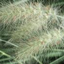 Herbe aux écouvillons alopecuroides Cassian