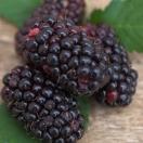 Mûre fruticosus Black Butte