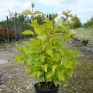 Cornouillier blanc alba Aurea