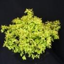 Spirée japonica Goldmound