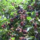 Mûre fruticosus Thornless