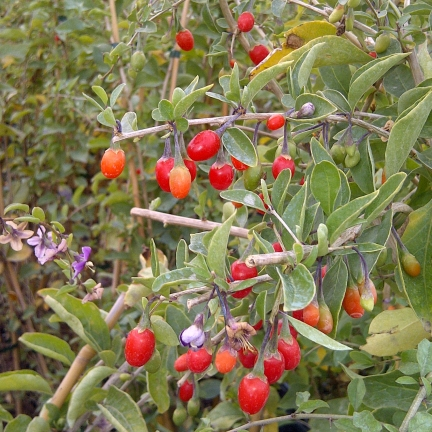 Baie de Goji barbarum