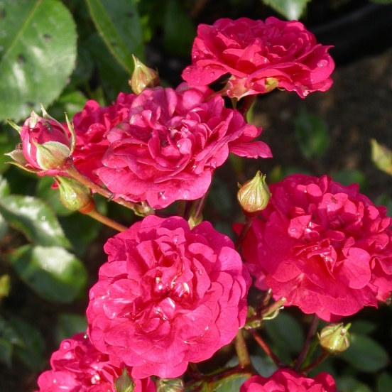 Rosier arbustif x polyantha Fairy Red
