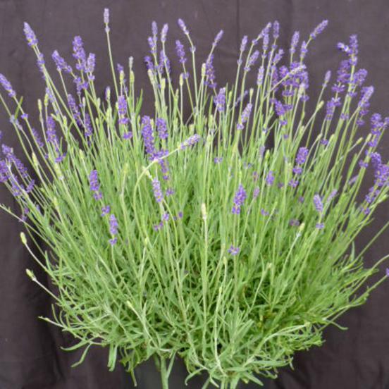 Lavande angustifolia Twickel Purple