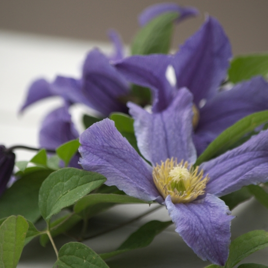 Clématite integrifolia Blue Boy