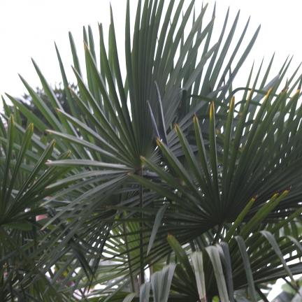 Palmier nain bleu humilis Cerifera