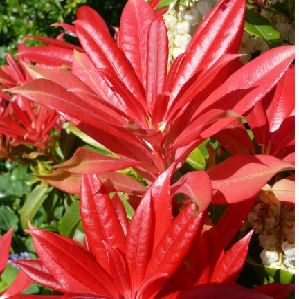Andromède du Japon japonica Forest Flame
