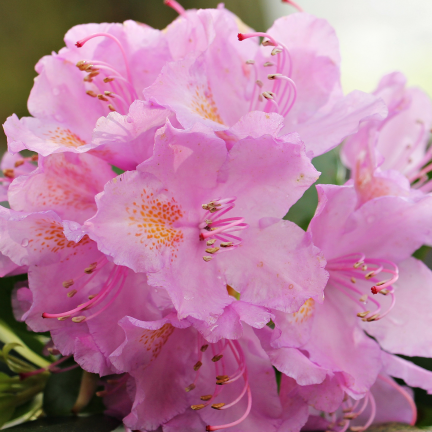 Rhododendron x Christmas Cheer