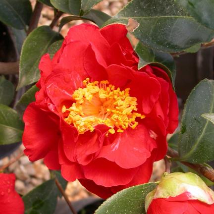 Camélia du Japon japonica Kumasaka