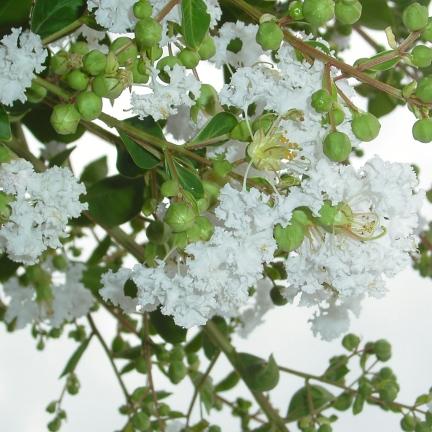 Lilas des Indes indica Neige d'été®