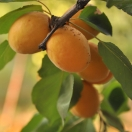 Abricotier armeniaca Hargrand
