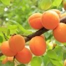 Abricotier armeniaca Garden Aprigold®