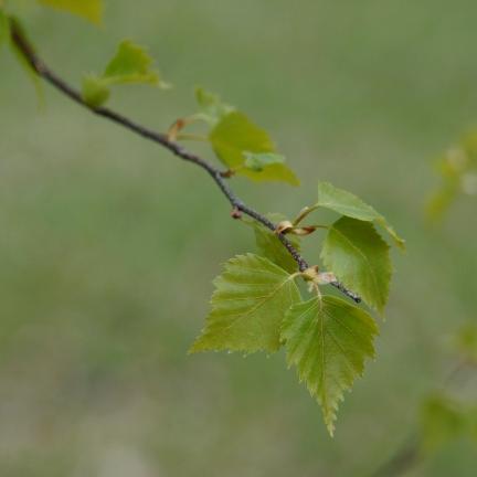 Bouleau verrucosa Purpurea