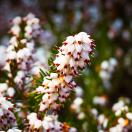 Bruyère d'hiver darleyensis White Glow