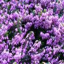 Bruyère d'hiver darleyensis Fursey