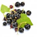 Cassis nigrum Noir de Bourgogne