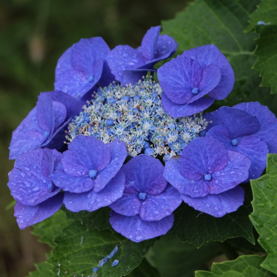 Hortensia macrophylla Zorro