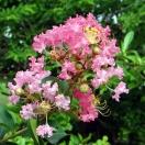 Lilas des Indes indica Rose Thé