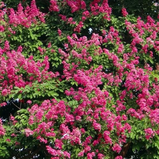 Lilas des Indes indica Red Imperator