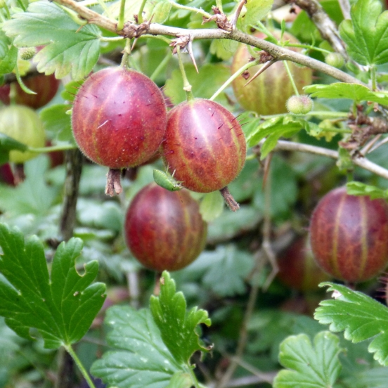 Groseillier à maquereaux uva-crispa Winham's Industry