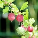 Groseillier à maquereaux uva-crispa Pixwell