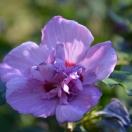 Hibiscus syriacus Ultramarine® 'Minultra'
