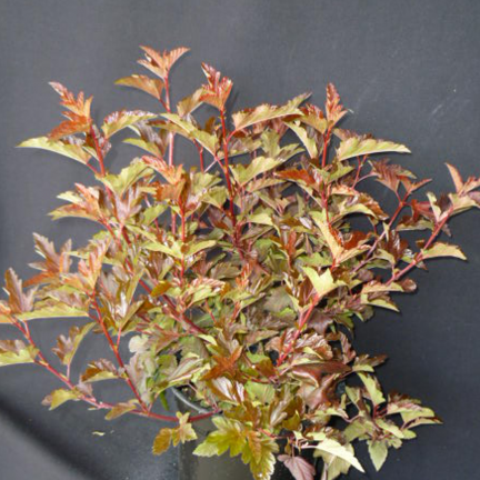 Physocarpe à feuilles d'obier opulifolius Diable d'Or® 'Mindia'