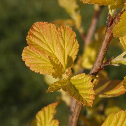 Physocarpe à feuilles d'obier opulifolius Amber Jubilee® 'Jefam'