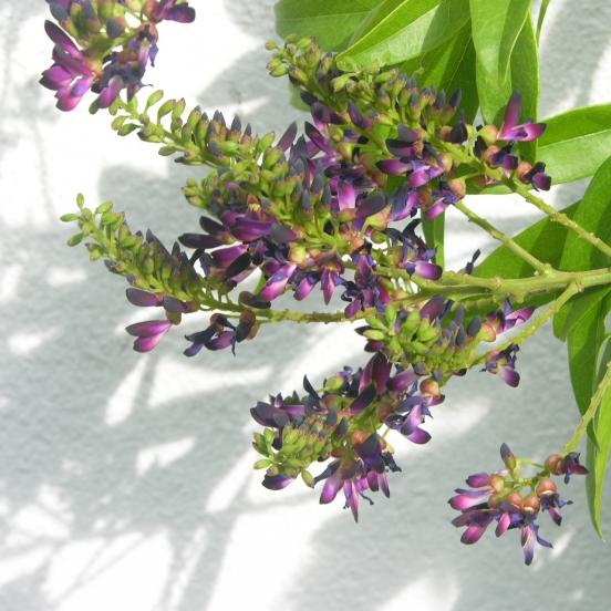 Glycine d'été japonica Satsuma