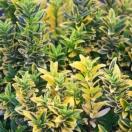 Fusain du Japon japonicus Microphyllus Albovariegatus