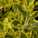 Fusain du Japon japonicus Microphyllus Aureovariegatus