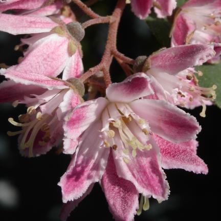 Deutzies x hybrida Perle Rose