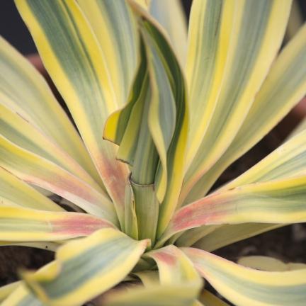 Yucca superbe gloriosa Bright Star