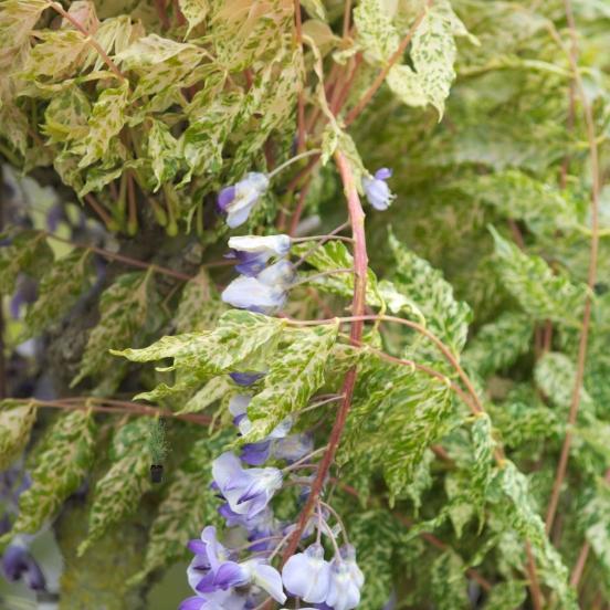 Glycine du Japon floribunda Variegata