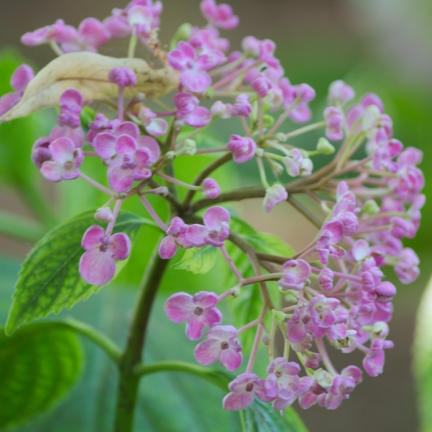 Hortensia de Virginie arborescens Pink Annabelle®