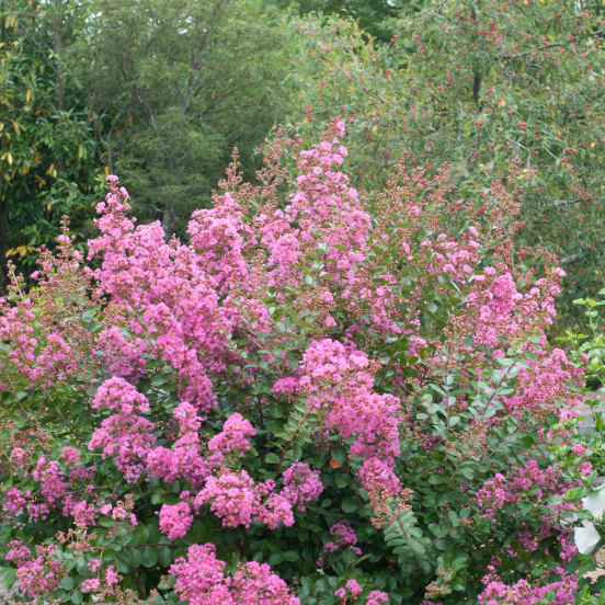 Lilas des Indes indica Petite Pink
