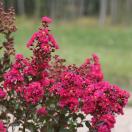 Lilas des Indes indica Fuchsia d été® 'Indyfus'
