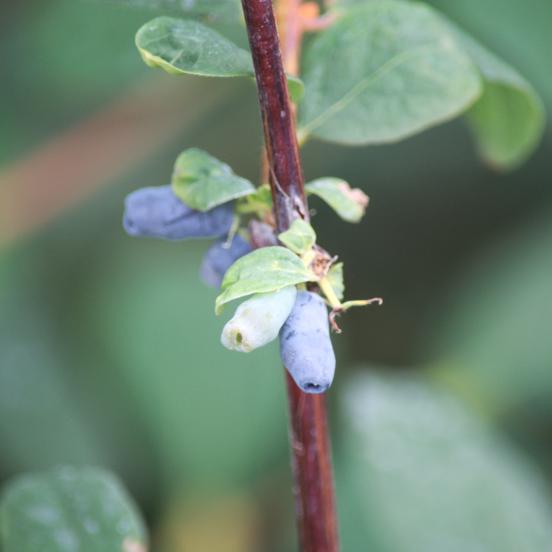 Baie de mai caerulea var. Kamtschatica Berry Blue