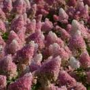 Hortensia paniculata Vanille Fraise® 'Renhy'