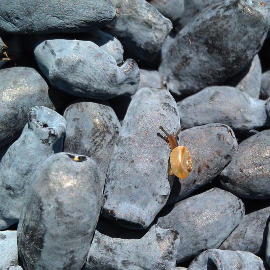 Baie de mai caerulea var. Kamtschatica Blue Bell