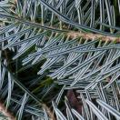 Sapin blanc alba
