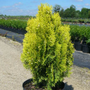 Thuya du Canada orientalis Semperaurea