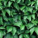 Vigne Vierge quinquefolia Red wall® 'Troki'