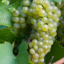 Vigne vinifera Perle De Csaba