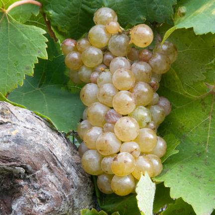 Vigne vinifera Ampelia® Perdin