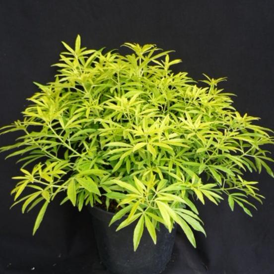 Oranger du Mexique ternata Goldfinger® 'Limo'